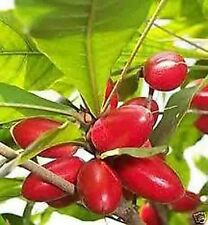 12  Miracle Fruit SYMSEPALUM Seeds U.S.A.