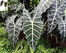 """Alocasia plant """"Amazonica"""" elephant ear NEW"""