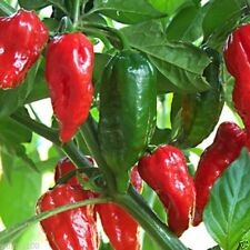50 Red Ghost Chili  Seed, Bhut Jolokia - Over 1 million Scoville units.Super Hot