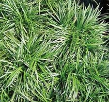 DWARF GREEN MONDO GRASS Ground cover Landscaping 5 plants for $10.00