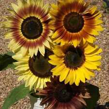 RAINBOW MIX SUNFLOWER SEEDS - Annual Flowers - Great Potted Plant- 10 Seeds
