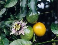 GOLDEN PASSIONFRUIT BULK BUY250 + FRESH SEEDS, LARGE JUICY FRUIT, EASY TO GROW