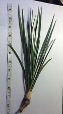Yucca Plants Starter Plant Small  10-12 + Inches tall One Plant