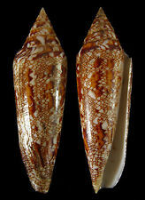 Conchiglia Shell CONUS BENGALENSIS Thailandia 112,5 mm # GOOD QUALITY