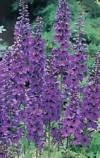 50 BLACK KNIGHT DELPHINIUM Cultorum Pacific Giant Larkspur Flower Seeds *CombS/H