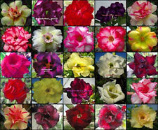 "ADENIUM ""Mixed 25 Type"" 110 Seeds RARE!!"