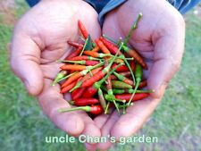 *UNCLE CHAN* 50 CHILLI PEPPER seed THAI BIRD'S EYE SPICY EXTREMELY HOT COOKING