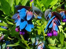 10 Graines Cerinthe Major Purpurascens Blue Honeywort Seeds