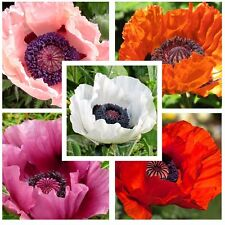 Oriental Poppy Mixed Color 1000 seeds ( Papaver Orientale ) Beautiful CombSH B12