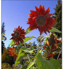 Sunflower Seeds - RED SUN - Helianthus Annuus - RARE ANNUAL FLOWER - 10 Seeds