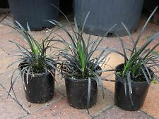 Plants Mondo Grass Black   140mm pots   $4-00 ea    GREAT PRICE