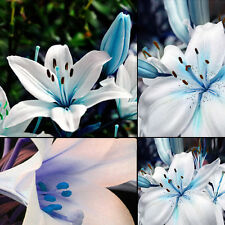 50pc Oriental Lily Blue Scented Perennial Garden Flower Bulbs Seeds For planting