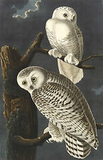 Audubon Reproductions: Birds of America: Snowy Owl - Fine Art Prints