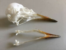 natural real Taxidermy bird skull bones skeleton specimen Arts Crafts Leiothrix