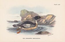Mittelsäger Mergus serrator LITHOGRAPHIE 1896 RED-BREATED MERGANSER Ornithologie