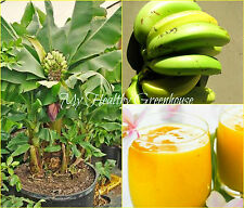 "SEEDS Very Hardy Musa ""Orinoco"" Dwarf Banana Tree Seeds – Zone from 7 to 10!"