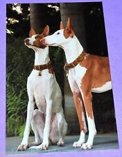 Dogs Postcard IBIZAN HOUND new