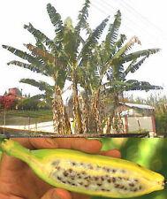 Winterharte Banane für den Garten, hält bis minus 20 Grad aus !