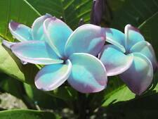"""""""BLUE FOX"""" FRAGRANT PLUMERIA CUTTING HAVE ROOTED 7-12"""" WITH CERTIFICATION"""