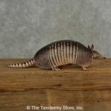 #16830 P | Armadillo Life-Size Taxidermy Mount For Sale