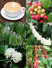 Coffea arabica, tropical coffee bean tree rare shrub exotic cafe seed 50 SEEDS