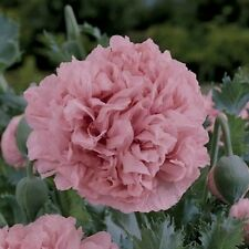 PALE ROSE PEONY POPPY 200 SEED BIG BEAUTIFUL BLOOMS TO GRACE YOUR GARDEN OR HOME