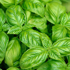 Heirloom Italian Large Leaf Basil 1000+ Seeds Non-GMO USA + FREE Gift & COMB S/H