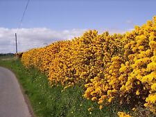 50 Gorse Hedging Furze Hedges Whin Hedge Prickly Plants