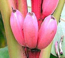 Essbare Bananen Gartenbananen rosa Zwergbanane  winterhart + Erde Freilandbanane