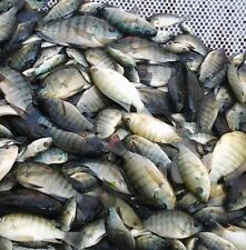 "12 Lot 3""-4"" Tilapia Fingerlings Live Blue Tilapia Fish Aquaponics Algae Control"