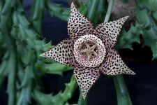 Orbea Variegata, Stapelia Stisseria ,lepida variegata, Starfish Flower Cuttings