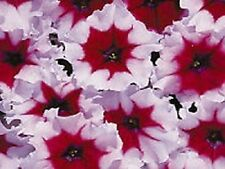 Petunia Seeds Petunia Celebrity Burgundy Frost 50 Pelleted Seeds FLOWER SEEDS