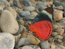 ONE REAL BUTTERFLY RED PERUVIAN PANACEA PAPERED UNMOUNTED WINGS CLOSED