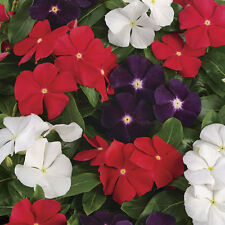 Flower Seeds VINCA ROSEA - Dwarf Pecifica Large Flower Mixed - Pack of 15 Seeds