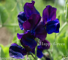 Sweet Pea-Royal Navy Blue - 35 semillas-Lathyrus odoratus
