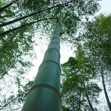 "100 semi di Phyllostachis pubescens = moso bamboo,Bambos moosoo""Bambù gigante"""