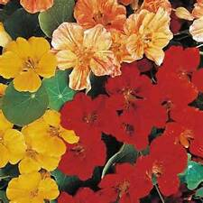 NASTURTIUM WHIRLY BIRD , 25+ SEEDS ORGANIC, BEAUTIFUL BRIGHT COLORFUL BLOOMS