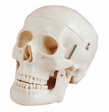 Human Skull - Life-Size 3 Parts - Anatomy Model
