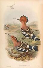 J Gould Reproduction Bird Print  Upupa Nioripennis From Birds of Asia.#11