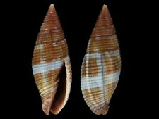 Mitra variabilis - Shells from all over the World