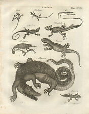 1797 GEORGIAN PRINT ~ LACERTA ALLIGATOR IGUANA CHAMELEON