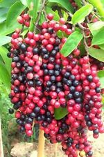 30 Fresh tropical exotic Thai Blueberry, Ma mao tree/plant/fruit seeds from Asia
