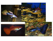 30 Not your average Assorted Fancy Guppies