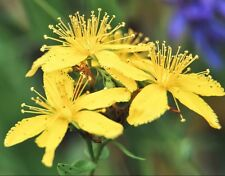 St. John's Wort ( Hypericum Perforatum ) 1000 seeds * anti depression herb D84