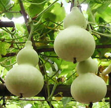 5 Big Spoon Bottle Gourd Seeds Lagenaria Siceraria Organic Vegetable