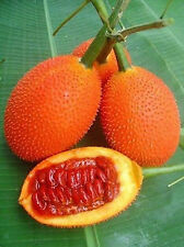 10 Fresh  GAC FRUIT Seeds  Momordica cochinchinensis  Free shipping