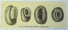 1882 magazine engraving ~ MEMIRANEOUS FEET OF CATERPILLARS in four pictures