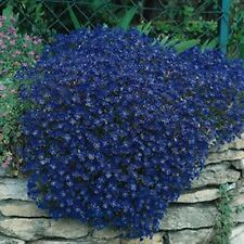 Rock Cress (Aubrieta)- Cascade Blue
