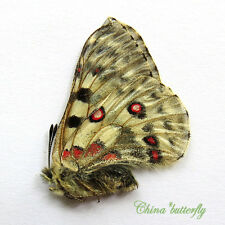 unmounted butterfly Papilionidae Parnassius actius A1 #3