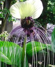 Tacca nivea | White Bat Flower | Bat Head Lily| 20-Seeds FREE SHIPPING TO US